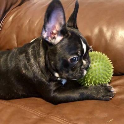 Akc French Bulldog Puppy For Adoption Houston Bulldog Puppies