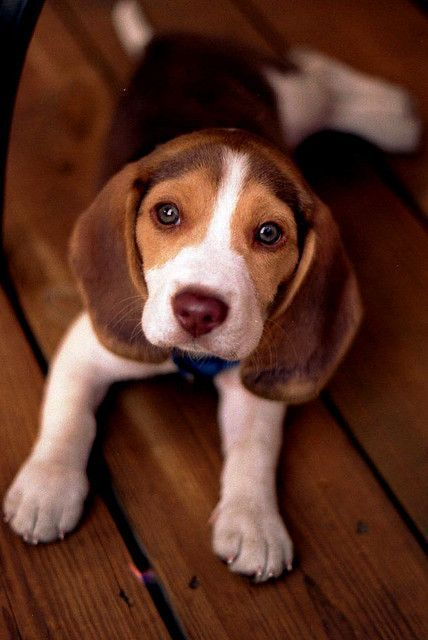 Sammy At 8 Weeks Old He Is A Serious Boy Cute Beagles Beagle
