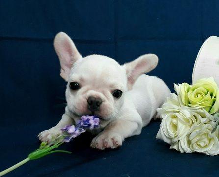French Bulldog Puppy For Sale In San Francisco Ca Usa Adn 97781