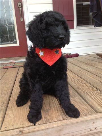 Giant Schnoodle Schnoodle Puppies For Sale Schnoodle Puppy Doodle Dog Breeds