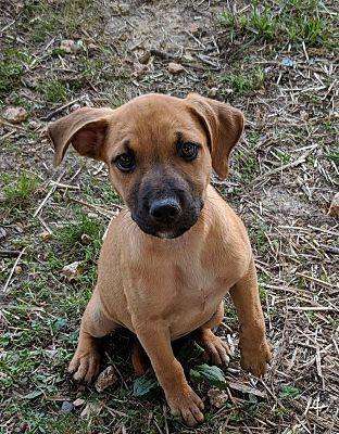 Albany Ny Labrador Retriever Meet Daffy A Dog For Adoption