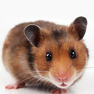 Hamster Mouse Hamster Hamsters As Pets Cute Hamsters