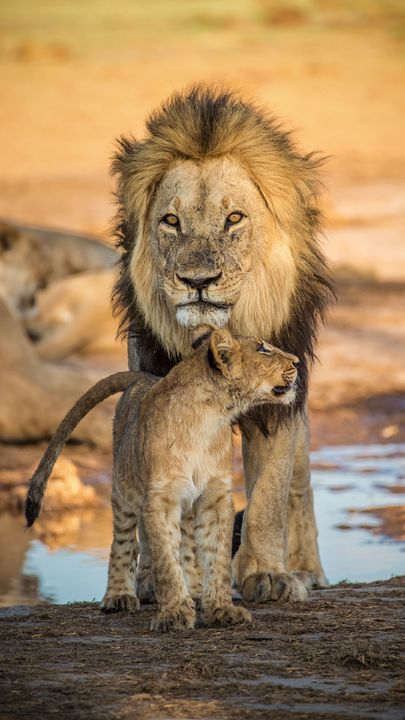 Pin By Dan Mihai On Lei In 2020 Animals Big Cats Lion Images