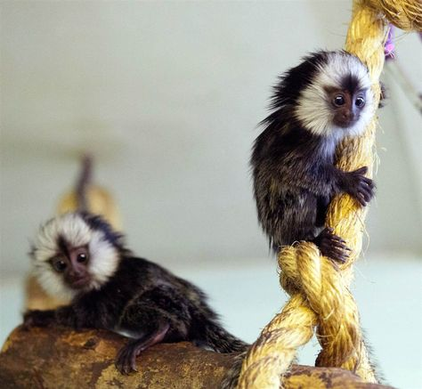 A Pair Of Tiny Monkeys Make An Appearance At Twycross Zoo In Leicestershire Uk On May 11 The Twin Black Eared Marmoset Mo Marmoset Monkey Tiny Monkey Animals
