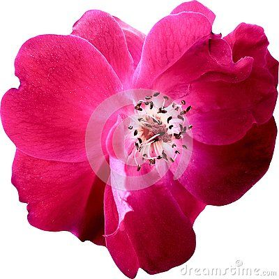 Close Up Top View Pink Rose Flowers Isolated On White Background