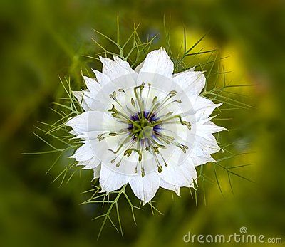 A Macro Photo Of One White Love In The Mist Flower With A Blurred Green Floral Background Floral Background Macro Photos Flowers