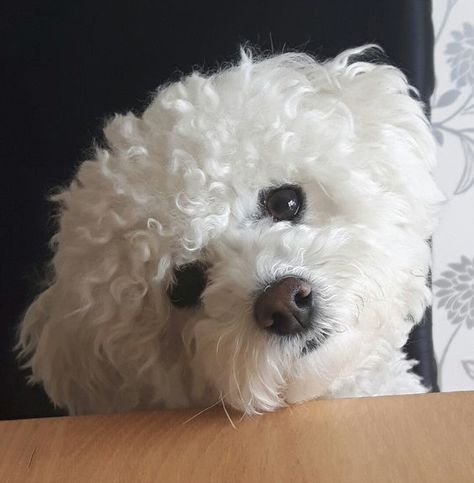 14 Reasons Bichon Frises Are The Worst Indoor Dog Breed Of All Time Bichon Frise, Bichon Dog, Maltese Dogs, Teacup Chihuahua, Beagle Dog, Cute Dogs Breeds, Dog Breeds, Cute Puppies, Dogs And Puppies