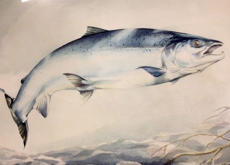 Large Watercolour Painting ATLANTIC SALMON by Charles Jardine. Scottish fly fishing, angling on River Tay, Scotland wilderness