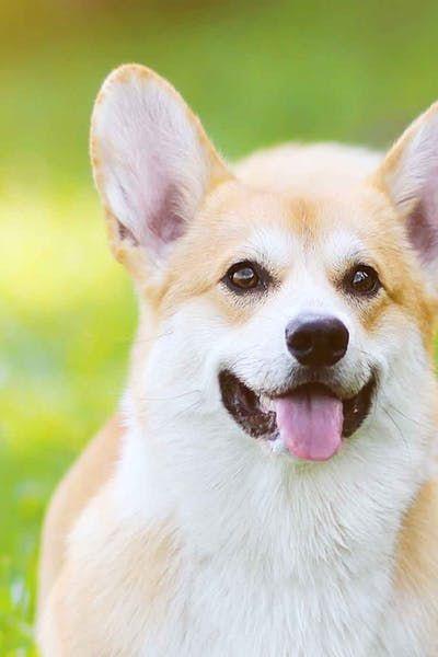 Philadelphia Dog Names Wag Pembroke Welsh Corgi Corgi Dog Names