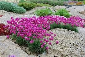 Zawciag Nadmorski Szukaj W Google Planting Flowers Flowers Plants