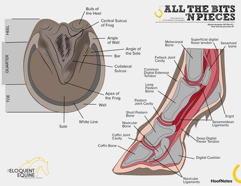 equine limb anatomy   Horse Leg Anatomy Diagram   Home stuff ...