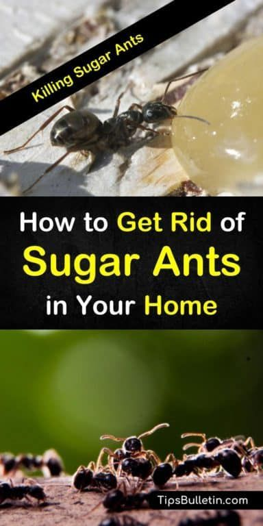 Killing Sugar Ants – How to Get Rid of Sugar Ants in Your ...
