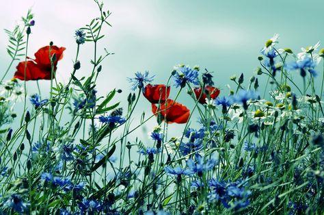 Bildergebnis Fur Mohnblumen Bilder Kostenlos Mohn Rot Mohnblumen Bilder Fotografie Blumen