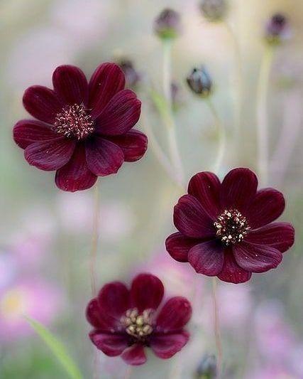Chocolate Cosmos Beautiful Flowers Flowers Pretty Flowers