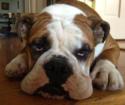 Bulldog Dog Breed Info & Pictures - share yours today @petMD.com  | petMD.com