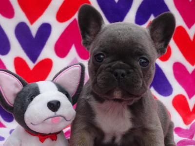 Akc French Bulldog Puppies Medicine Hat French Bulldog Puppies