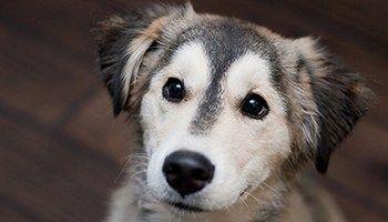 Golden Retriever Husky Mix Meet The Beloved Goberian My Dog S