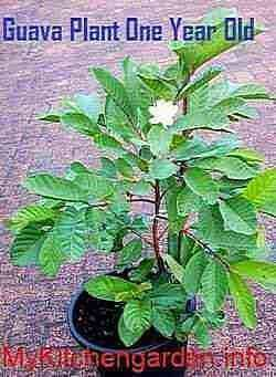 Guava Plant One Year Old producing Fruit | Garden | Guava