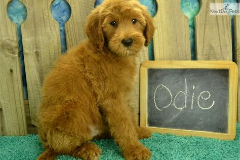 Pin By Dog Life On Goldendoodle Goldendoodle Puppy For Sale