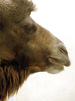 Fondos De Pantalla Hd 4k Ouat Wallpaper Animal Animales Fauna Salvaje Camello Dromedario V Para Usar En Wh Fondos De Pantalla Hd Camello Dromedario Animales