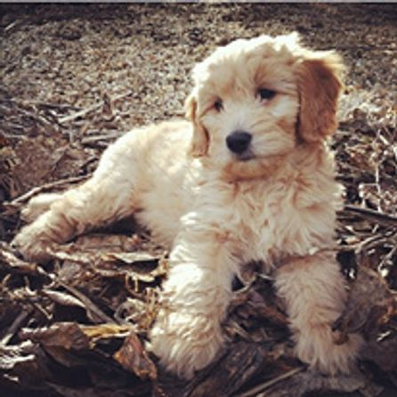 Goldendoodles Labradoodles Golden Beauties Driven To Doodles Llc Labradoodle Goldendoodle Dogs And Puppies