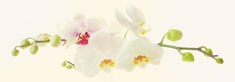 Art Print: Orchidea Art Print by Katja Marzahn by Katja Marzahn : 14x39in