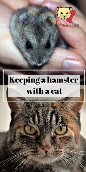 Keeping A Hamster And Cat Under One Roof Complete Guide Hamster Cats Living With Cats