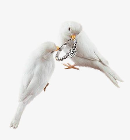 أبيض حمامة Pigeon Blanc Colombe Paix Animaux