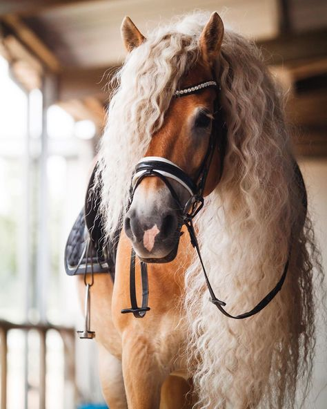 Storm is a gorgeous Haflinger horse that lives in the Netherlands with her owner Naomi Beckers. Funny Horses, Cute Horses, Pretty Horses, Horse Love, Horse Girl, Cowgirl And Horse, Horse Riding, Cheval Haflinger, Haflinger Horse