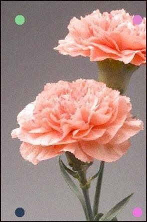 Resultado De Imagem Para Fleur Oeillet In 2020 With Images Carnation Flower Carnation Plants Flowers Nature