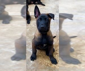 Belgian Malinois Puppy For Sale In Mission Tx Usa With Images