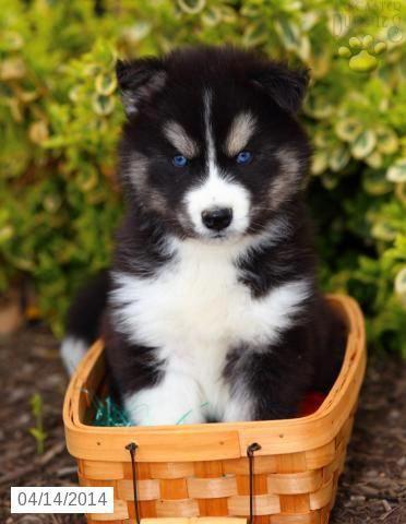 Siberian Husky Puppy For Sale In Pennsylvania Siberiancatsforsale