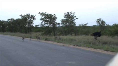 Kruger Sightings   Ostrich Family Runnin In The Road   6 December 2011