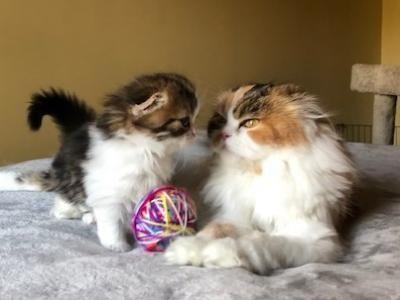 Mason Male Scottish Fold Kitten For Sale In Massachusetts United States Profile Id 32597 In 2020 Scottish Fold Kittens Scottish Fold Kittens