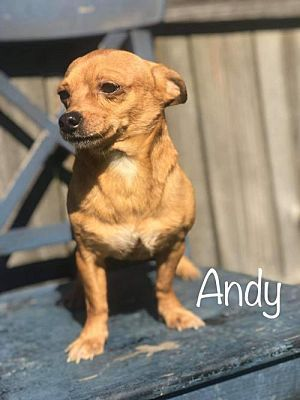 New York Ny Chihuahua Meet Andy A Pet For Adoption Pets
