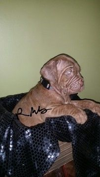 Neapolitan Mastiff Puppy For Sale In Lakeland Fl Adn 59182 On