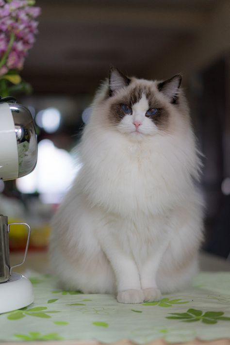 Where To Find Free Ragdoll Kittens 2020