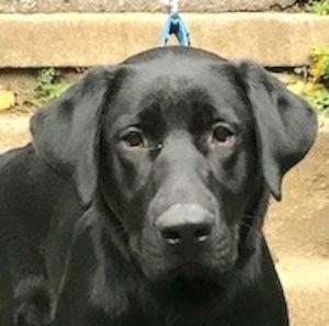 Adopt Lucky 38 On Petfinder Labrador Retriever Best Dog Training Retriever Dog