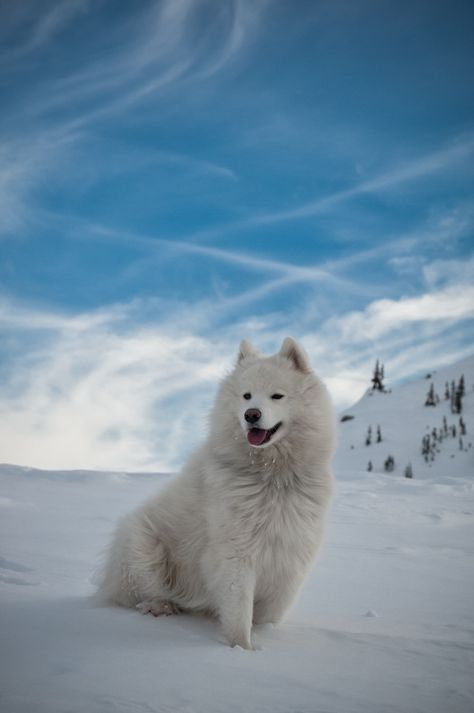 Samoyed ~ I had one when I was young.  His name was Thaddeus Bear, T-Bear for short.