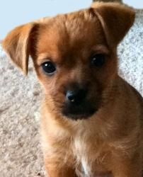 Adopt Mason On Chihuahua Dachshund Mix Wire Haired Dachshund