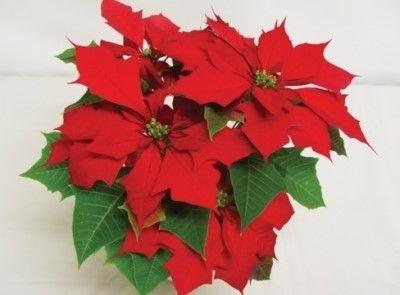 크리스마스꽃 포인세티아 크리스마스 꽃 크리스마스 카드 크리스마스 식물
