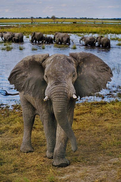 African Elephant Bull Loxodonta Africana Chobe National Park