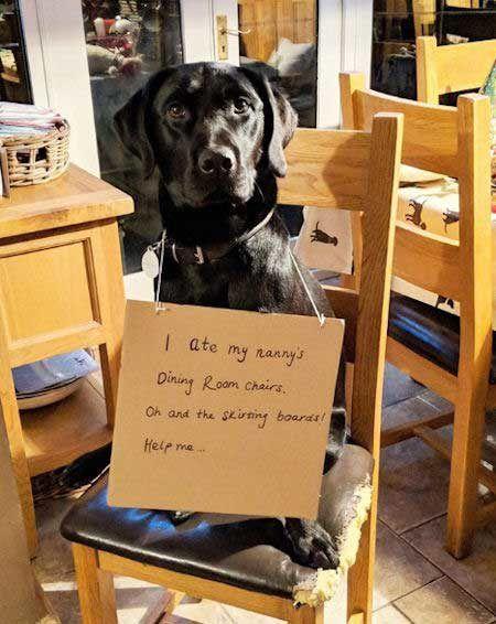 Labrador Dogs Funny Shaming Labrador Retriever Dog Shaming