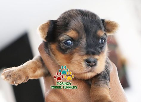 Available Yorkie Terrier Puppies Parti Yorkie Puppies Chocolate Yorkie Puppies Merle Yorkie Puppies Teacup Yorkie Puppy Yorkie Terrier Yorkie Puppy For Sale