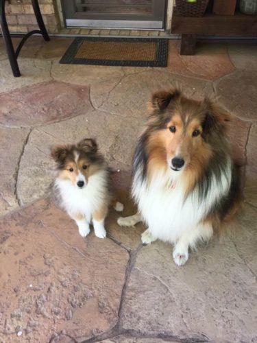 Sheltie Nation Largest Community Of Sheltie Lovers On The Net Sheltie Puppy Dapper Dogs Sheltie