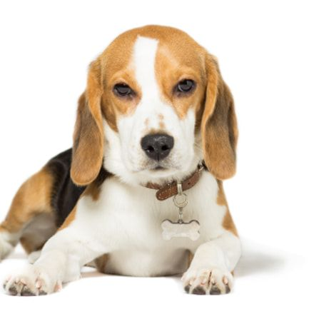 One Unusual Trick Stops Your Beagle Jumping Up Beagle Beagle