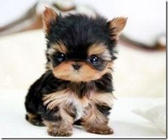 Pomeranian Husky Mix Fluffy Animales Adorables Animales Bonitos