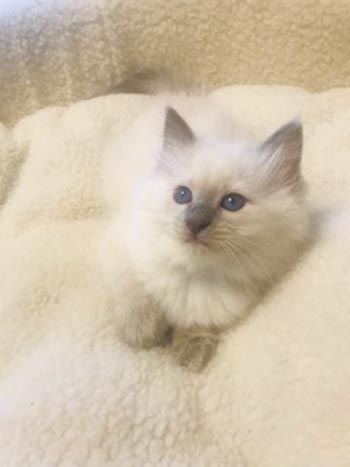 Comus Is A Lilac Point Balinese Very Rare Color With Gorgeous Blue Eyes And Such A Lovable Boy Loves To Snuggle Under The Covers P With Images Kittens Snuggles Purring