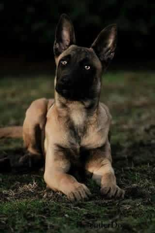 Hope You Re Doing Well From Your Friends At Phoenix Dog In Home Dog Training K9katelynn See More About Scottsdale Dog Belgian Malinois Dog Malinois Dog Dogs