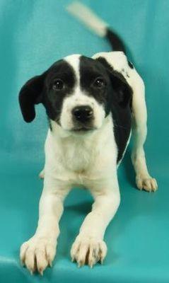 Morton Grove Il Coonhound Meet Hopper A Pet For Adoption